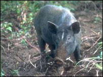 Tập tin:Pig-bbc.jpg