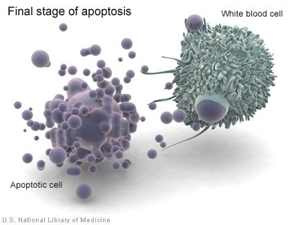 Khi tế bào trải qua apotosis, tế bào bạch cầu gọi là đại thực bào (macrophage) tiêu thụ các mảnh vỡ tế bào. white blood cell: tế bào bạch cầu, final stage of apotosis: giai đoạn cuối của apotosis, apototic cell: tế bào chết.