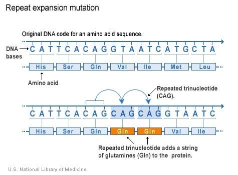 Sự lặp lại trình tự 3 nucleotide (CAG) dẫn tới protein có thêm hàng loạt amino acid glutamine