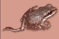 Tập tin:Pacific tree frogs.jpg