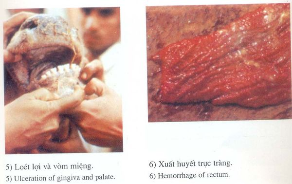 Dịch tả trâu bò