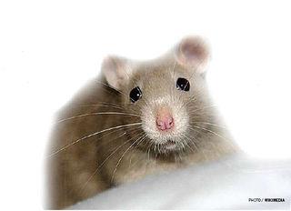 Tập tin:Rat.jpg