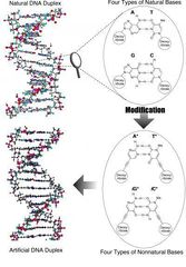 Tập tin:First DNA Molecule Made Almost Entirely Of Artificial Parts.jpg