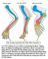 Tập tin:Limb mammal2.JPG