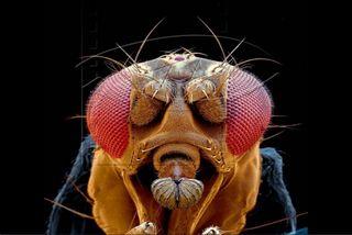 Tập tin:Drosophila.jpg