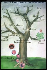 Tập tin:Embryo-development.jpg