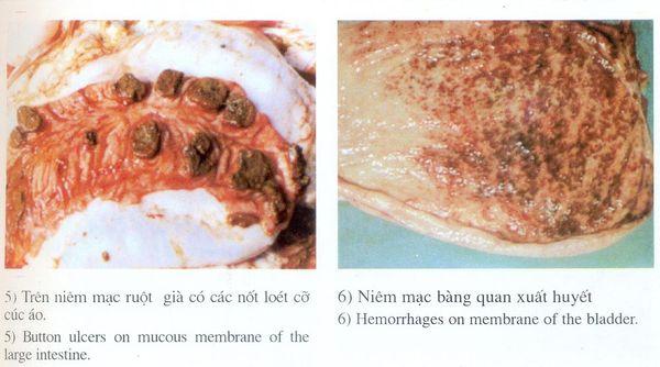 Lợn mắc bệnh dịch tả