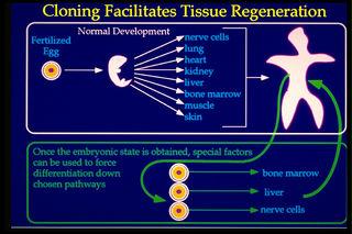 Tập tin:Tissue-regeneration.jpg