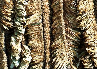 Tập tin:Basma-tobacco-drying.jpg