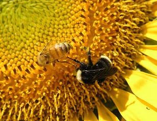 Tập tin:Bee.jpg