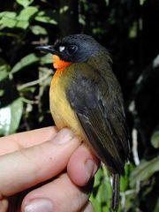 Tập tin:Stiphrornis-pyrrholaemus.jpg