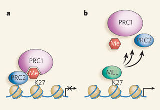 Tập tin:Reversal of Polycomb-group silencing by demethylases.jpg