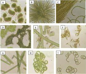 Tập tin:H1.cyanobacteria.png