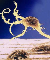 Tập tin:Human stem cell.jpg