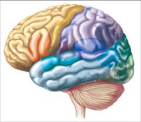 Tập tin:Brain.jpg