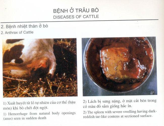 Hình ảnh bệnh nhiệt thán ở bò