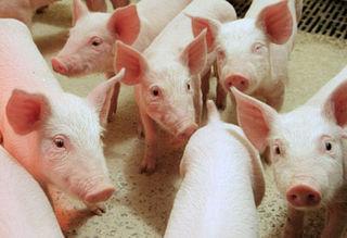 Tập tin:Pig-aus.jpg