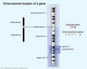 Tập tin:Gene CFTR.jpg