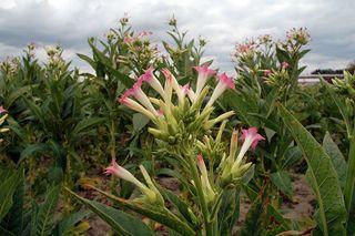 Tập tin:Tobacco flowers poland1.jpg