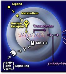 Tập tin:Nuclear receptor 4.jpg