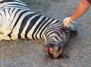 Tập tin:Zebra diseased from Bacillus anthracis.jpg