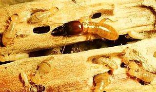 Tập tin:Termite.JPG