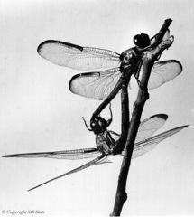 Tập tin:Dragonfly mating.JPG