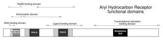 Tập tin:Functional domains of AhR.jpg