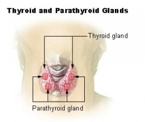 Tập tin:Illu thyroid parathyroid.jpg
