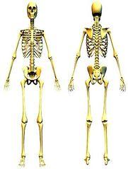 Tập tin:Skeleton.jpg