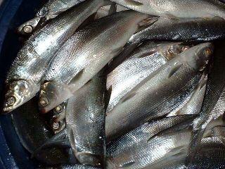 Tập tin:Poisoned-seafood.jpg