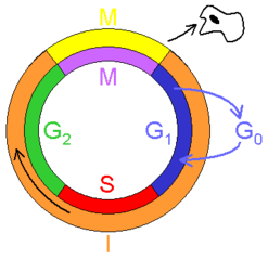 Tập tin:Cell cycle.png