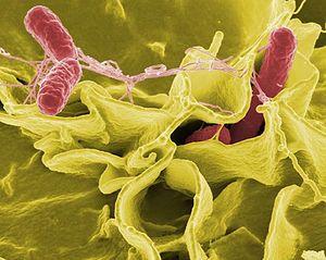 Tập tin:Salmonella.jpg
