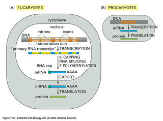Tập tin:From gene to protein.jpg