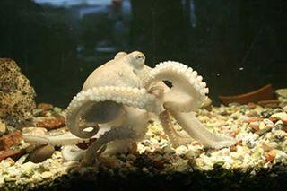 Tập tin:Octopus elbow.JPG