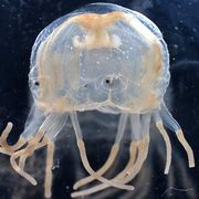 Box jellyfish.jpg