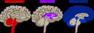 Tập tin:3 brains.png