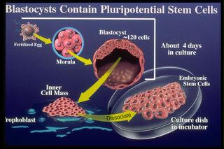 Tập tin:Blastocyst-contain-stemcells.jpg