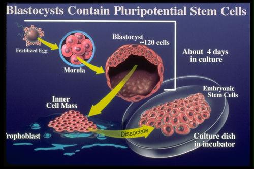 Kết quả hình ảnh cho Tế bào gốc phôi người