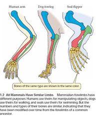 Tập tin:All mammals have similar limbs.jpg
