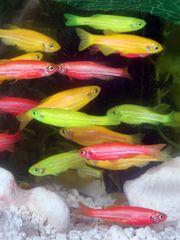 Tập tin:GloFish.jpg